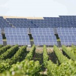Solar panels with grape vines